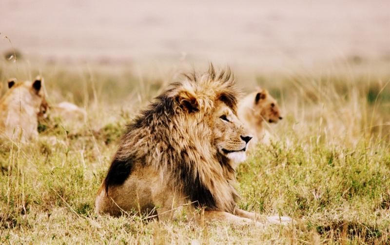 lion pride masai mara