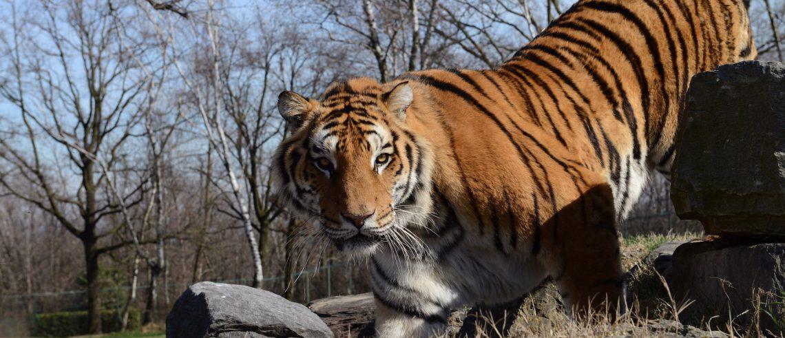 tigre safari park